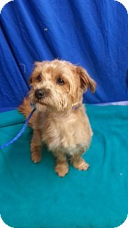 Norwich Terrier Mix Dog for adoption in Spokane, Washington - Shaggy