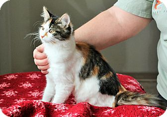 Domestic Shorthair Cat for adoption in Nampa, Idaho - VALERIE