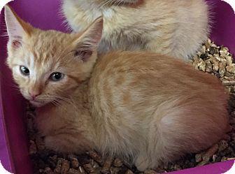 Egyptian Mau Kitten for adoption in Cerritos, California - Marigold