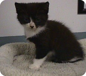 Domestic Shorthair Kitten for adoption in Fayetteville, Georgia - Hershell