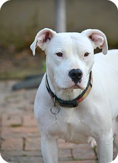 American Bulldog/Boxer Mix Dog for adoption in Waterbury, Connecticut - AVA