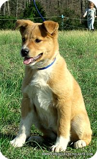Golden Retriever/Australian Cattle Dog Mix Puppy for adoption in Waterbury, Connecticut - DAISY~ADOPTED