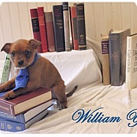 Adopt A Pet :: William Yeats - Austin, TX