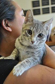 Domestic Shorthair/Domestic Shorthair Mix Cat for adoption in Pompano Beach, Florida - Baloo