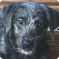Adopt A Pet :: Scruffy - Hagerstown, MD