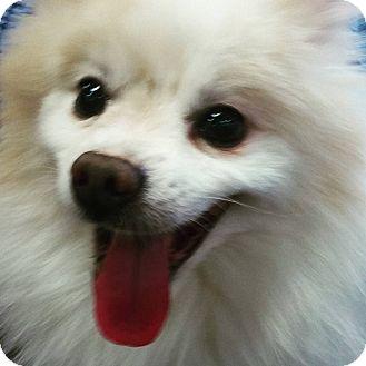Pomeranian Mix Dog for adoption in Henderson, Nevada - Maddox