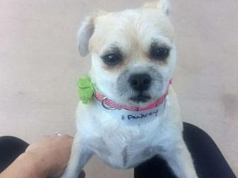 Brussels Griffon/Pug Mix Dog for adoption in Alta Loma, California - Audrey