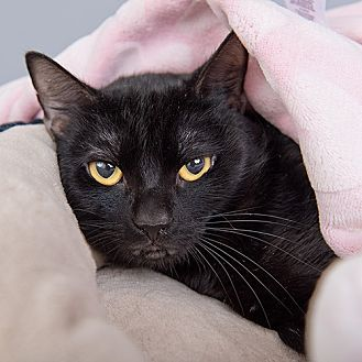 Domestic Shorthair Cat for adoption in Wilmington, Delaware - Willo
