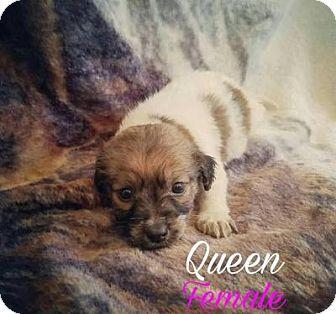 Australian Shepherd Mix Puppy for adoption in Plainfield, Illinois - Queen