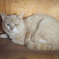 Domestic Shorthair Cat for adoption in Martinsburg, West Virginia - Sir Marsh