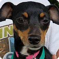 Adopt A Pet :: Sweetie - Lexington, KY