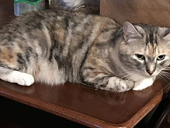Domestic Shorthair Cat for adoption in Sonoma, California - Jonni