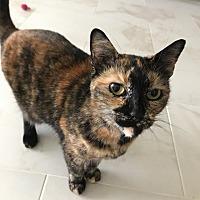 Domestic Shorthair Cat for adoption in San Francisco, California - Boba