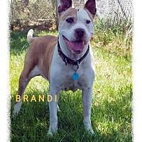 Adopt A Pet :: Brandi - Ventura, CA