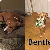 Adopt A Pet :: Bentley - Flint, MI