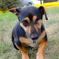 Adopt A Pet :: Odin - Denver, CO