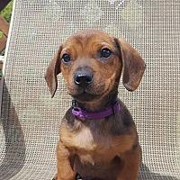 Adopt A Pet :: Copper - New Oxford, PA