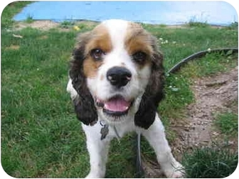 Cocker Spaniel Mix Dog for adoption in Mentor, Ohio - Mia 2yr - Adopted