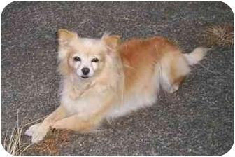 Pomeranian Dog for adoption in Seattle, Washington - Honey
