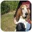 Photo 1 - Basset Hound Dog for adoption in Portsmouth, Rhode Island - Roy w/video!