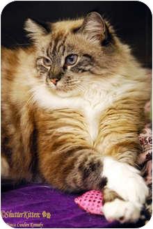 Himalayan Cat for adoption in Encinitas, California - Crystal