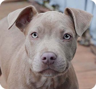 American Pit Bull Terrier/American Pit Bull Terrier Mix Puppy for adoption in Spring Valley, New York - Justice