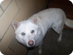 American Eskimo Dog/Husky Mix Dog for adoption in Sidney, Ohio - Joey