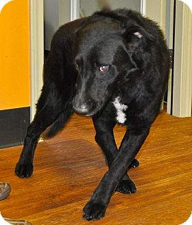 Labrador Retriever/Border Collie Mix Dog for adoption in Baltimore, Maryland - Randy--URGENT