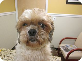 Shih Tzu Dog for adoption in Oak Ridge, New Jersey - Joanie