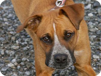 Boxer/Great Dane Mix Dog for adoption in San Andreas, California - Punkkin