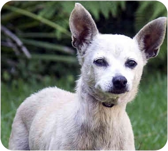 Chihuahua Mix Dog for adoption in Marina del Rey, California - Willow