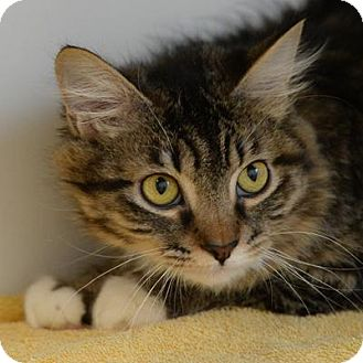 Domestic Mediumhair Cat for adoption in Denver, Colorado - Vicky