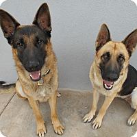 Adopt A Pet :: Otto Von Altenberg - Phoenix, AZ