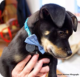 Shepherd (Unknown Type)/Boxer Mix Puppy for adoption in Chattanooga, Tennessee - Monty