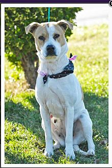 Labrador Retriever/American Pit Bull Terrier Mix Dog for adoption in Mechanicsburg, Pennsylvania - Rosie