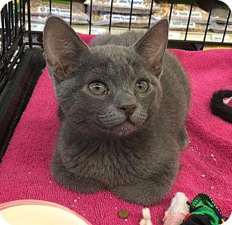 Domestic Shorthair Kitten for adoption in Gilbert, Arizona - Grace