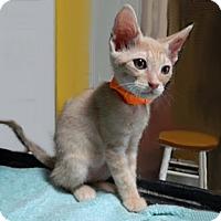 Adopt A Pet :: Porcino - The Colony, TX