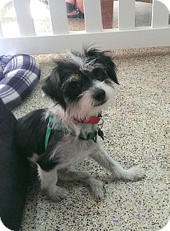 Terrier (Unknown Type, Small) Mix Dog for adoption in Thousand Oaks, California - Maddy