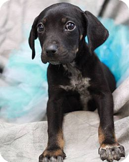 Coonhound Mix Puppy for adoption in South Haven, Michigan - Kate