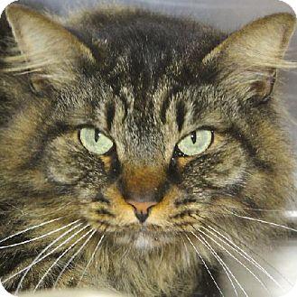 Domestic Mediumhair Cat for adoption in Salem, Massachusetts - Rupert