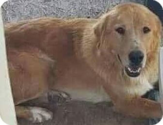 Golden Retriever Mix Dog for adoption in Oxford, Connecticut - Bandit