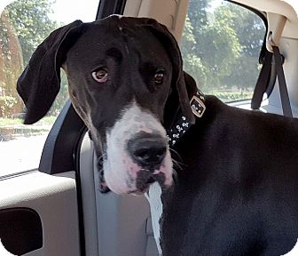 Great Dane Puppy for adoption in Broomfield, Colorado - Zeke