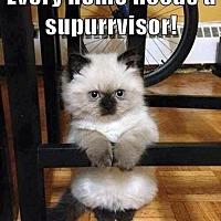Domestic Shorthair Kitten for adoption in Napa, California - Kittens Kittens Kittens!!!