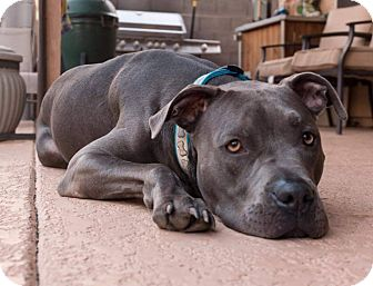 American Pit Bull Terrier/Weimaraner Mix Dog for adoption in Phoenix, Arizona - Blu