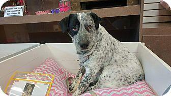 Cattle Dog Mix Dog for adoption in Mesa, Arizona - Max