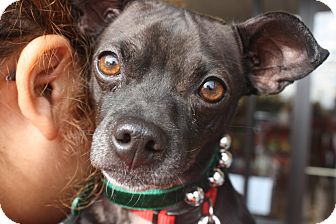 Chihuahua/Schipperke Mix Dog for adoption in Dallas, Texas - Dexter
