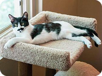 "Domestic Shorthair Cat for adoption in Santa Ana, California - Black Pantherette ""BP"""