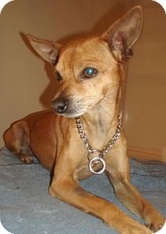 Chihuahua Dog for adoption in Melrose, Florida - Leggs