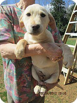Labrador Retriever/German Shepherd Dog Mix Puppy for adoption in Brookside, New Jersey - AMBER