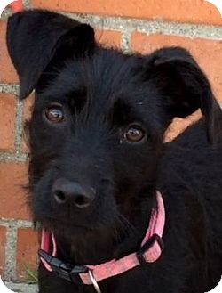 Terrier (Unknown Type, Medium) Mix Puppy for adoption in Los Angeles, California - FRIDA (video)